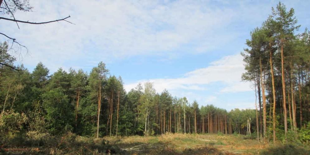 Wycinka drzew pod budowę obwodnicy Góry Kalwarii